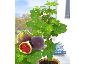 Frucht-Feige Rouge de Bordeaux klein,1 Pflanze Ficus carica Feigenbaum