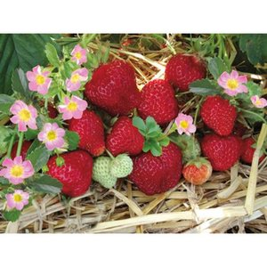 "Hummi Erdbeere ""Merosa"" Topf-Ø ca. 9 cm Fragaria ananassa"