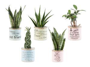 Easy Care Pflanzen im Übertopf