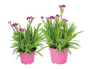 """Dianthus """"Pink Kisses Mini"""""""