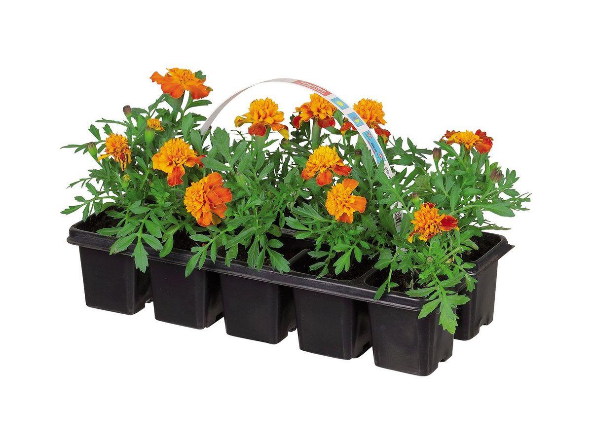 Bild 4 von Beetpflanzen