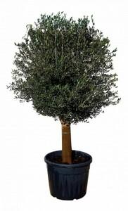 Olivenbaum ,  110 L Container