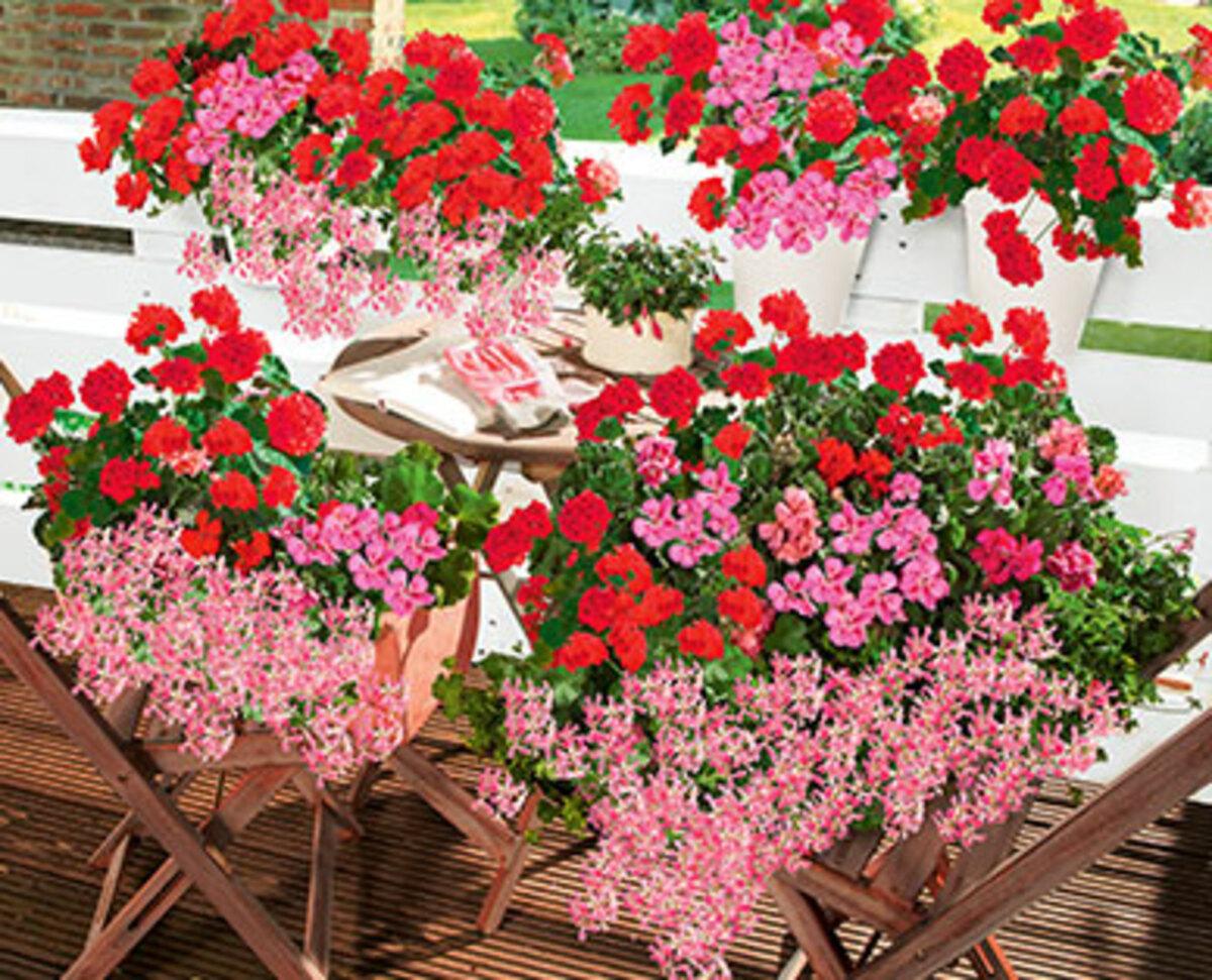 Bild 2 von GARDENLINE®  Beet- und Balkonpflanzen