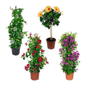 GARDEN FEELINGS     Balkon- / Terrassenpflanze