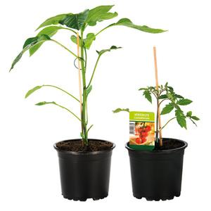 Finest Garden Veredelte Gemüsepflanze