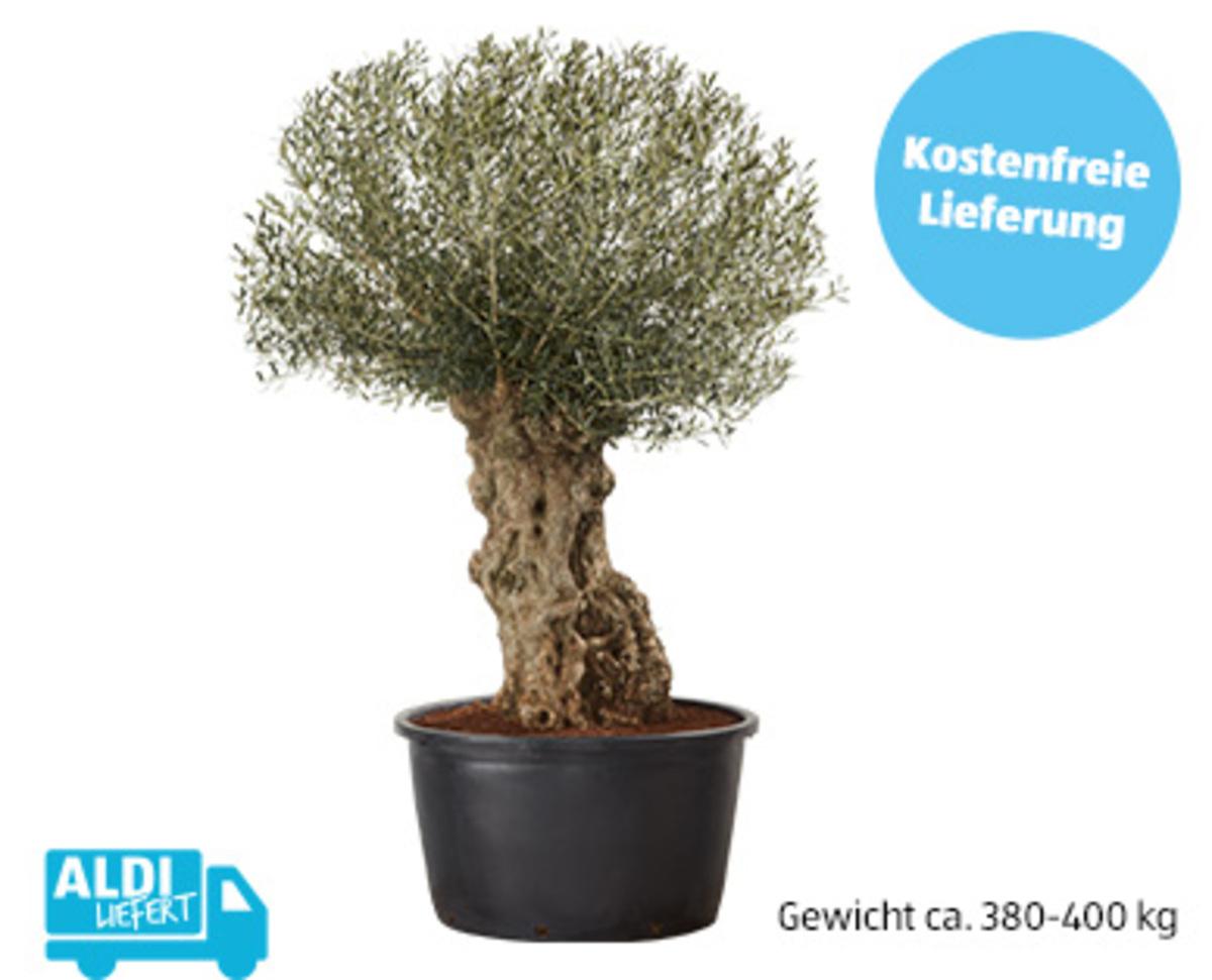 Bild 1 von Olivenbaum¹