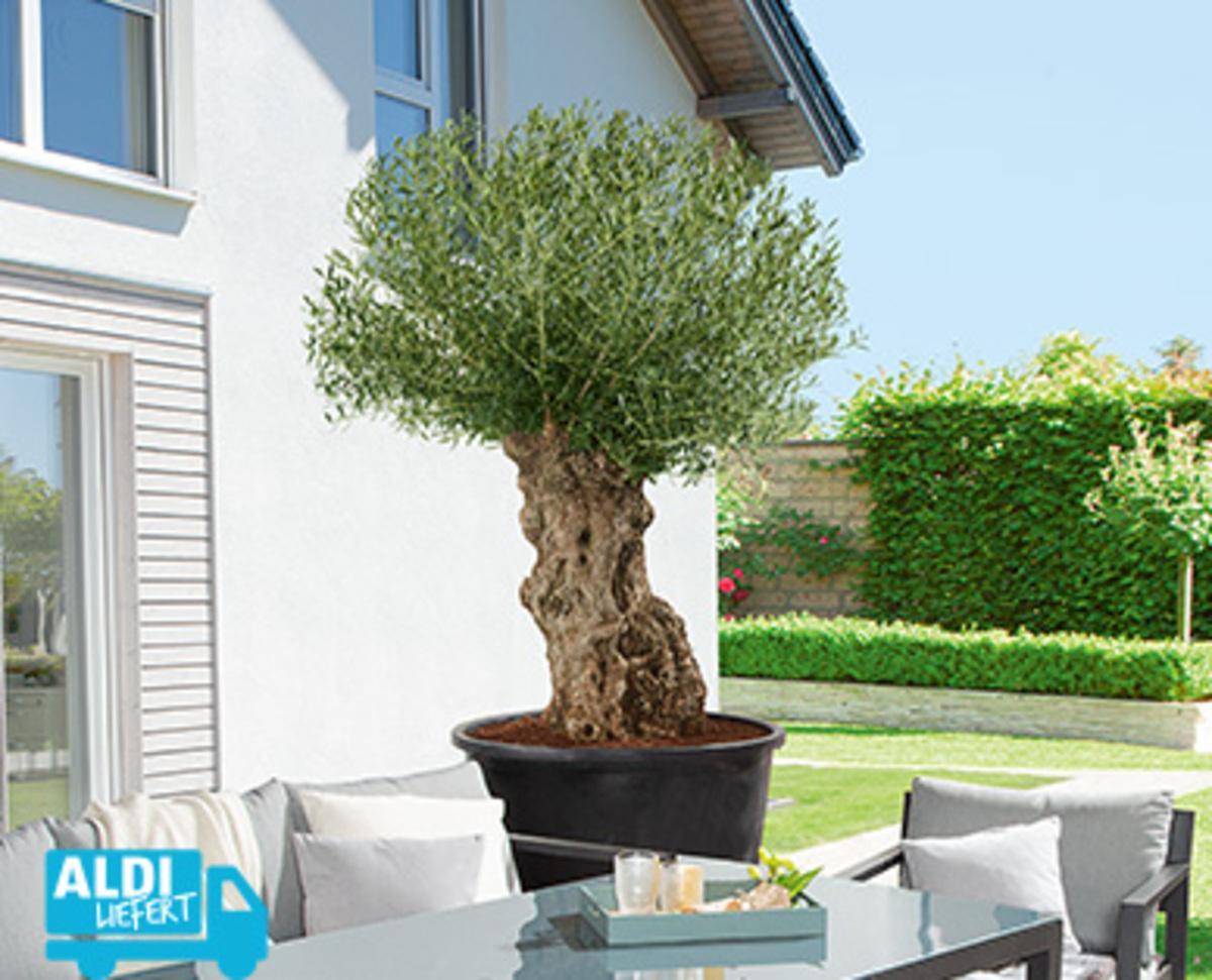 Bild 2 von Olivenbaum¹