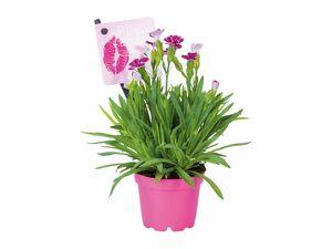 """Dianthus Mini """"Pink Kisses"""""""