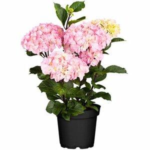 "Bauernhortensie ""Soft Pink Salsa"" Rosa Höhe ca. 30 - 40 cm Topf ca. 5 l"