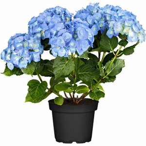 "Bauernhortensie ""Blue Ballad"" Höhe ca. 30 - 40 cm Topf ca. 5 l Hydrangea"