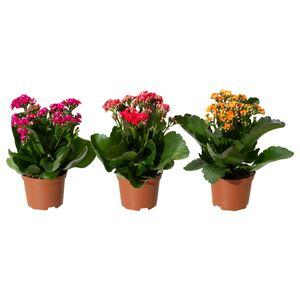 KALANCHOE CALANDIVA                                Pflanze, Flamm. Käthchen, gefüllt versch. Farben, 9 cm