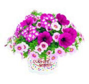 Sommerblumen »Trio Confetti« oder »Verbene-Trio«