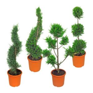 GARDEN FEELINGS     Pflanze in Formschnitt