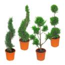 Bild 1 von GARDEN FEELINGS     Pflanze in Formschnitt