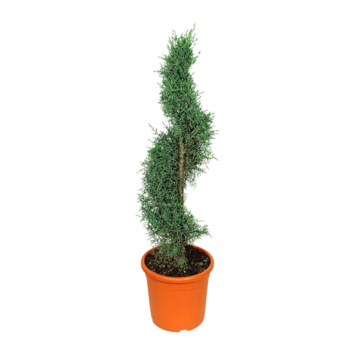 Bild 2 von GARDEN FEELINGS     Pflanze in Formschnitt