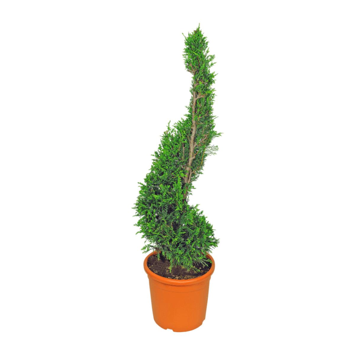 Bild 3 von GARDEN FEELINGS     Pflanze in Formschnitt