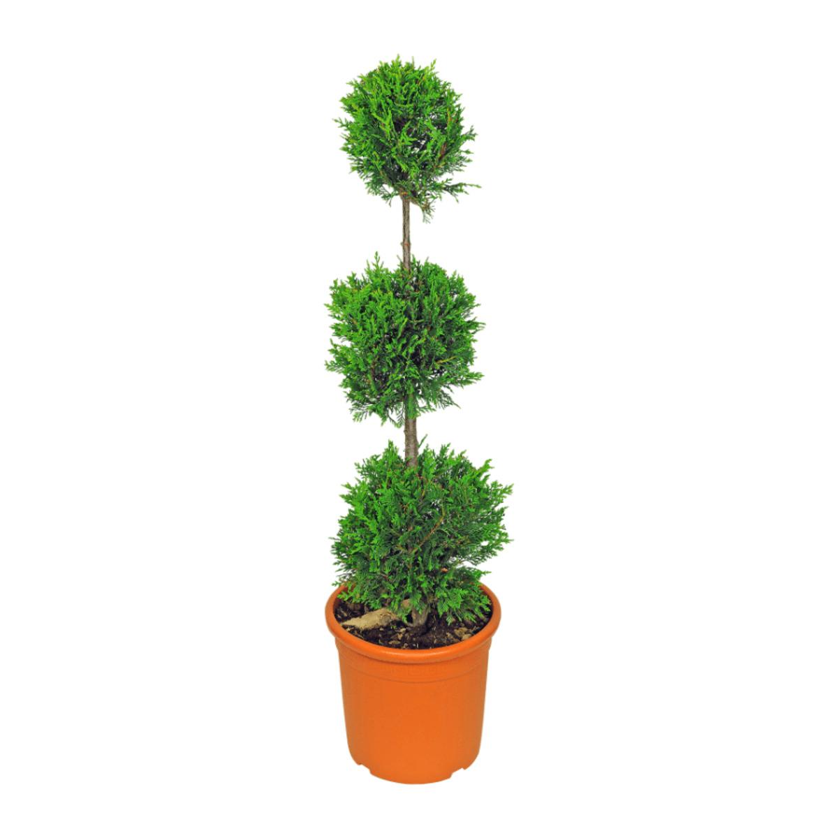 Bild 4 von GARDEN FEELINGS     Pflanze in Formschnitt