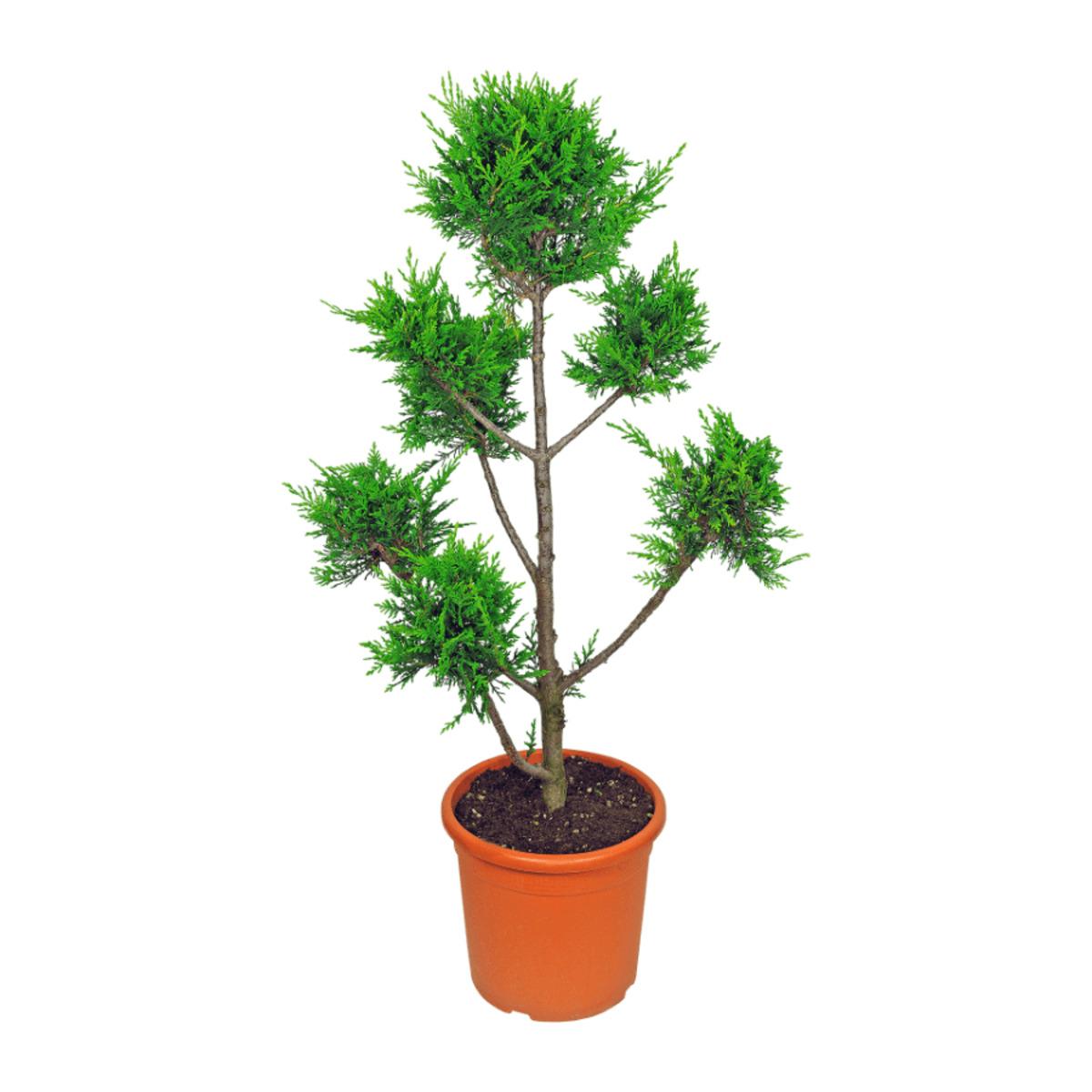 Bild 5 von GARDEN FEELINGS     Pflanze in Formschnitt