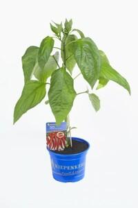 Peperoni-Pflanze ,  12 cm Topf