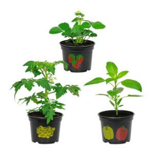 GARDEN FEELINGS     Gemüse- / Obstpflanze