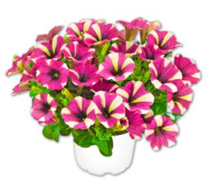 Sternblüte