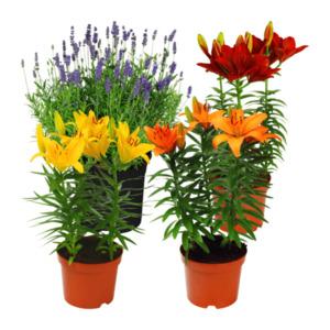 GARDEN FEELINGS     Lavendel / Lilie