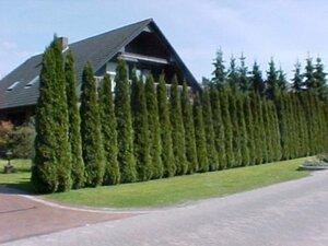 Lebensbaum Thuja Smaragd