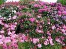 Bild 1 von Rhododendron
