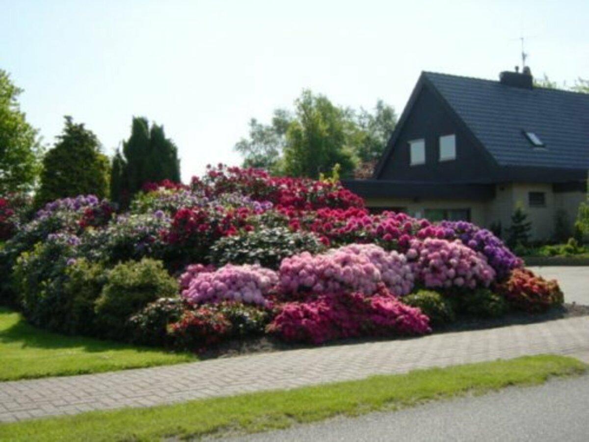 Bild 2 von Rhododendron