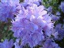 Bild 3 von Rhododendron