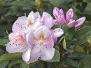 Bild 4 von Rhododendron