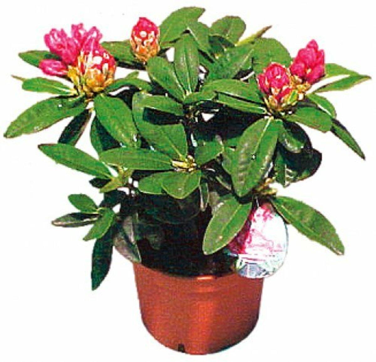 Bild 5 von Rhododendron
