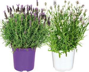 GARDENLINE®  Lavendel