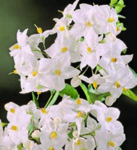 Solanumjasminoides