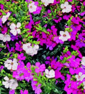 Trio-Köcherblümchen  »Flory Glory ®«