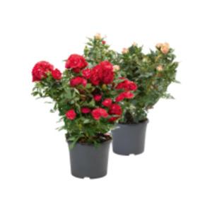 Garten Rose Flower Circus