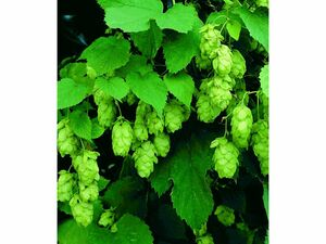 Hopfen im 1.5-Liter Containertopf, 1 Pflanze Humulus lupulus