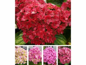 5-Stufen Hortensie Together®,1 Pflanze
