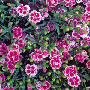 "Dianthus ""Pink Kisses"""