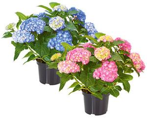 GARDENLINE®  Gartenhortensie