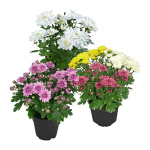 GARDEN FEELINGS     Chrysanthemen
