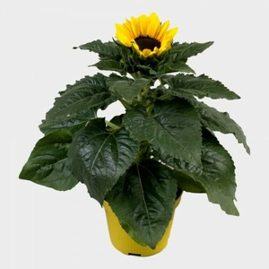 Sonnenblume Sunsation ,  12 cm Topf