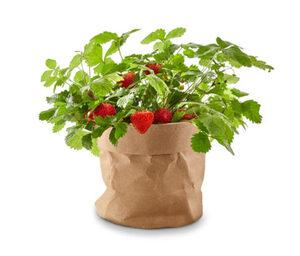 Erdbeer-Saatgut im Papierbeutel