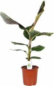 Bananenpflanze ,  21 cm Topf