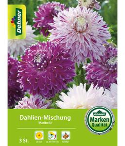 Dehner Blumenzwiebel Dahlien-Mischung 'Maribelle'