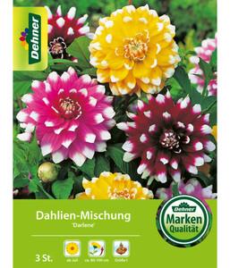 Dehner Blumenzwiebel Dahlien-Mischung 'Darlene'