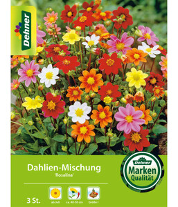 Dehner Blumenzwiebel Dahlien-Mischung 'Rosalina'