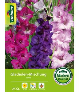 Dehner Blumenzwiebel Gladiolen-Mischung 'Lima'