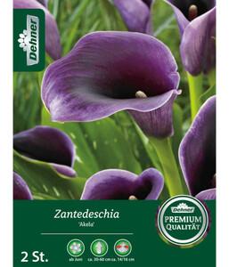 Dehner Blumenzwiebel Zantedeschia 'Akela'