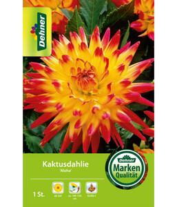 Dehner Blumenzwiebel Kaktusdahlie 'Aloha'
